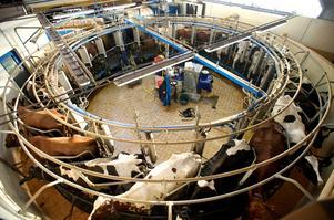 Svårt att få lönsamhet på svenska mjölkgårdar trots robotar när mjölkkvoterna togs bort för två år sedan