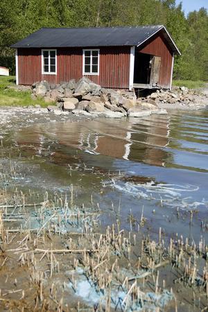 Sådana här algblomningar har vi sluppit undan hittills i sommar, på grund av det kalla vattnet.