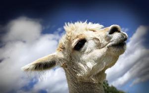 Många förbipasserande undrar vad det är för djur i alpackornas hage. Alpackorna tittar också på förbipasserande. Foto: Staffan Björklund