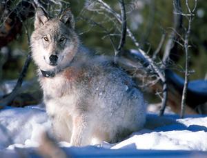 VARG. 20 vargar får skjutas under den licensjakt som pågår fram till den 15 februari i år. I Dalarna avlystes jakten under helgen då man haruppnått kvoten på sex vargar.