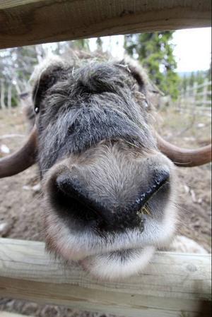 Den gamle tjuren är en riktig social varelse som har ett ordentlig sug efter mat eftersom han är uppvuxen på nappflaska.