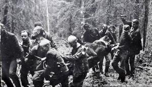 Så här såg det ut när Ragundabjörnen transporterades ur skogen 1 oktober 1967 efter att ha nedlagts av Jan Modin, Hammarstrand.