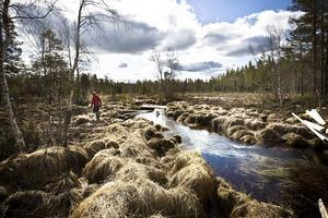 Runt hälften av den nya, stora Hamra nationalpark utgörs av myrmark, Svartåmyran, som är en typiskt norrländsk myr.