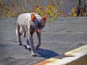 När jag såg grannens katt på en annan grannes uthustak associerade jag genast till Tennessee Williams drama