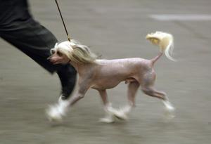 Så här ser en kinesisk nakenhund ut. Det är inte samma hund på bilden som försvunnit från Freluga.