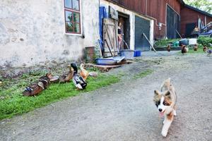 TINDRI. Här kommer gårdens nya vallhund, en isländsk vallhund som heter Tindri.