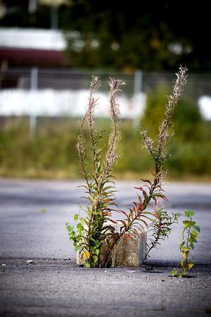 Rallarrosen är erkänt tålig och tar plats i en spricka i asfalten.