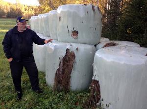 Hans Hansson tror att det är doften av sött hö som fått björnen att klättra över ensilagebalarna.