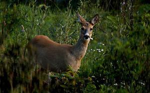 Bara betesskadorna på skog från älg och rådjur står för två miljarder årligen. Det tycker Anders Ekholm talar för att rovdjuren inte ska bli färre.