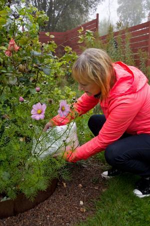 Det gäller att gödsla inför vintern. Dock är det viktigt att inte använda gödsel som innehåller kväve då det gör blommorna växer för mycket och fryser ihjäl.
