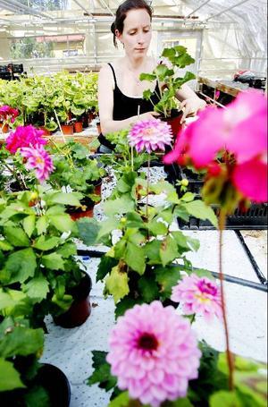 """Malin Petterson sommarjobbar med blommor vid kommunens växthus alldeles nedanför Arctura i Östersund. Hon känner inte till sjukreglerna om att hon blir utan sjukersättning de första två veckorna vid en anställning. """"Det hade jag ingen aning om""""."""
