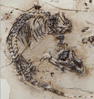Exceptionellt välbevarat fossil av Spinolestes, ett primitivt däggdjur från dinosauriernas era. Få fossil är lika kompletta som det här.   Thomas Martin