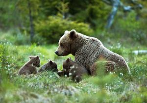 Den här björnfamiljen fångade Håkan Vargas på bild vid sitt gömsle förra sommaren. Björnfamiljen uppehöll sig i området från juni till oktober. Ungarna var omkring 40 cm i juni och när de försvann för vintern var de nästan dubbelt så stora, berättar Håkan Vargas.