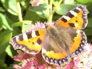 Besök av denna underbara fjäril,och hann ta ett kort innan den försvann.