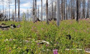 Det grönskar igen i det brandhärjade området i Västmanland. Foto: Skogsstyrelsen