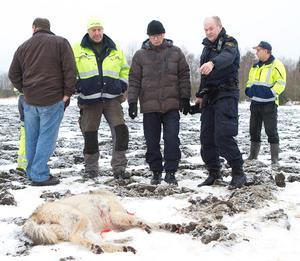 Vargen med det skadade benet sköts vid Bullerbyn mellan Hallstahammar och Västerås. Längst fram; poliserna Roland Hed och Per Strömbäck.