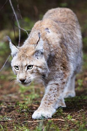 Sex lodjur finns på Junsele djurpark. Europas största kattdjur kan väga mellan 15 och 30 kilo och blir i regel upp emot 15 år gamla i det vilda.