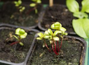 I källarens trädgårdsrum. Portlak, en ört med ovanligt mycket omega-3, på tillväxt.
