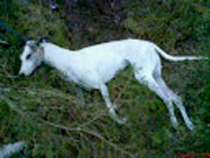 GREYHOUND. Det var i november 2007 som en greyhoundtik hittades fastbunden i en gran och död, i skogen ovanför idrottsplatsen i Ockelbo. Obduktionen har visat att hunden inte svalt ihjäl eller dog till följd av yttre våld – utan troligen på grund av uttorkning.