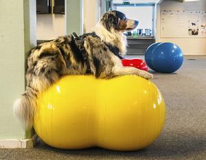 Jordnötsformade pilatesbollar är ergonomiskt anpassade för fyrfota vänner. Vid träning uppe på bollen krävs alltid balans och stabilitet.