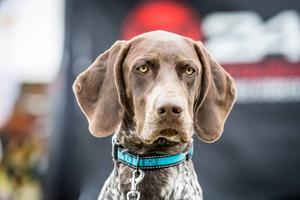 Hunden spelar en av huvudrollerna på Bruksvallarna Game Fair. Agility, vattenapporttävling, nosework uppvisning och uppvisning Älghundlydnad är några punkter på programmet.
