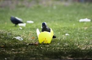 Fågelfrukost. Kajan hittar något att äta.BILD: LENNART LUNDKVIST