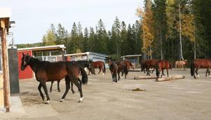 I ett Active Stable får hästarna röra sig fritt och leva i flock.