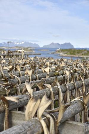 Överallt i Lofoten ser man träställningar som används för att lufttorka torsk.   Foto: Jesper Zacharias