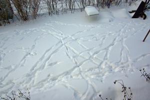 På julaftons morgon upptäckte jag på baksidan av huset att ett (eller flera?) rådjur gjort en massa spår i snön. Ett vackert mönster som bär vittnesbörd om jakten på föda?