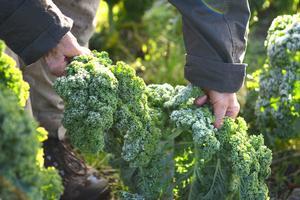Grönkålen är en många grödor som växer på odlingen i Hansjö.