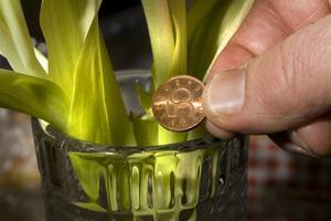 Ett kopparmynt i vasen ger tulpanerna extra liv.