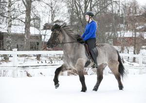 Islandshästen Raffe ska visa upp sina fyra gångarter på söndag.