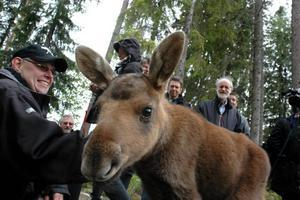 """Får bli kvar i Mo. Lars Arkesjö, som driver älgparken i Mo i Ockelbo, är glad för att älgkalven Kalle får bli kvar i parken. Nu får han agera """"mamma"""" för den lilla föräldrarlösa kalven."""
