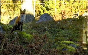 ..en annan räv