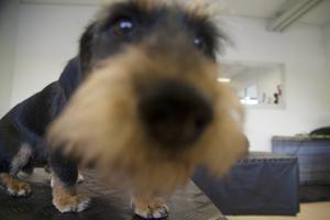 Aia har just blivit färdig hos hundfrisören och inspekterar nyfiket kameran. Saxar, kammar och klotång brukar i vanliga fall finnas i salongen men inte denna konstiga teknikpryl.