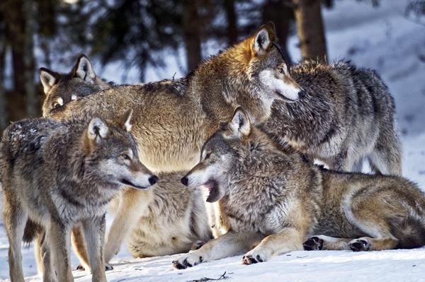 Omdebatterade. Ska vargfrågan vara ett svenskt undantag från EU:s regler? Bilden är från Järvzoo.Foto: Yvonne Åsell/TT