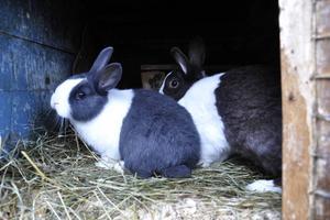 En blåsvart och en Havannavit kanin av rasen Holländsk kanin.