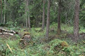 Så här kan hyggesfritt skogsbruk se ut.