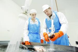 Jörn Wangensten instruerade Linus Palm hur fisken ska rensas i fiskslakteriet i Hoverberg när LT var på besök i slutet av 2012. Sedan dess har bolaget väntat på att få tillstånd att utöka verksamheten.