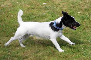 Det går även att se ett antal Jack Russell-terriers runt om i kommunerna.