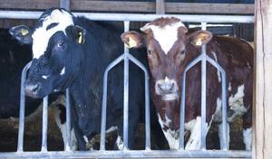 Härjedalens kommun har köpt sina första fyra kor som till våren blir köttbullar på dagisborden. Korna bor tills vidare i Hedeviken och Hede.