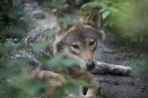 En varg har synts till i Kolsva på onsdagen och misstänks ha dödat en katt. (Vargen på bilden är fotograferad på Skansen).