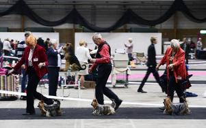 Välkammade och vältrimmade visades massor med hundar upp i helgen. Här är det några prydliga Yorkshireterriers och deras förare som gör sitt bästa för att imponera på domaren.