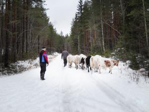 FOTO: STAFFAN ILJEGÅRDDet är en mäktig syn, när man möter Per och hans djur, tycker Staffan Iljegård som har tagit denna bild.