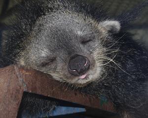 Den här godingen träffade vi på i Vietnam. Det berättades att djuret är det mest sömniga och lata lilla varelse som finns i Vietnam och därav namnet Lazymonkey.