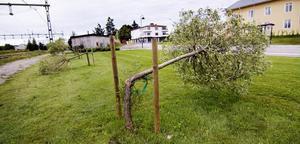 Avbrutna pilträd i Arbrå.