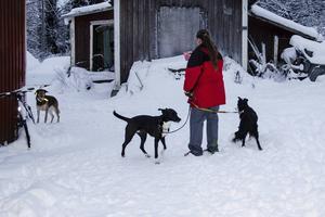 Schäfern dyker upp så fort Annette Sjölander kommer ut med sina hundar i Östanskär.