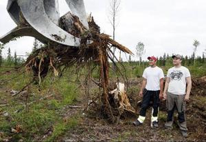 I fyra år har Jesper Jonsson och Simon Näslund jobbat med att bryta stubbar på olika hyggen länet runt. Ibland får de också åka på brytning i Medelpad och Ångermanland.