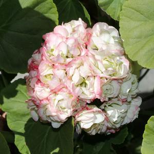 Appleblossom rosebud heter den här pelargonen som bjuder på stora bollar av blommor.