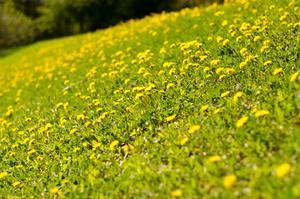 Hejsan , vart ut och gick och hadde kameran med mig och såg denna kulle med massor med tussilagosar, med rätt vitbalans fick hela bilden en gulare ton och tycker verkligen den här bilden fram häver sommar känsla .Mvh Fredrik Wahlström
